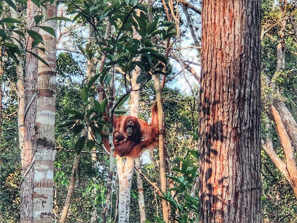 Cómo organizar tu viaje por libre a Indonesia. Preparativos Orangutanes Borneo Come Vive Viaja